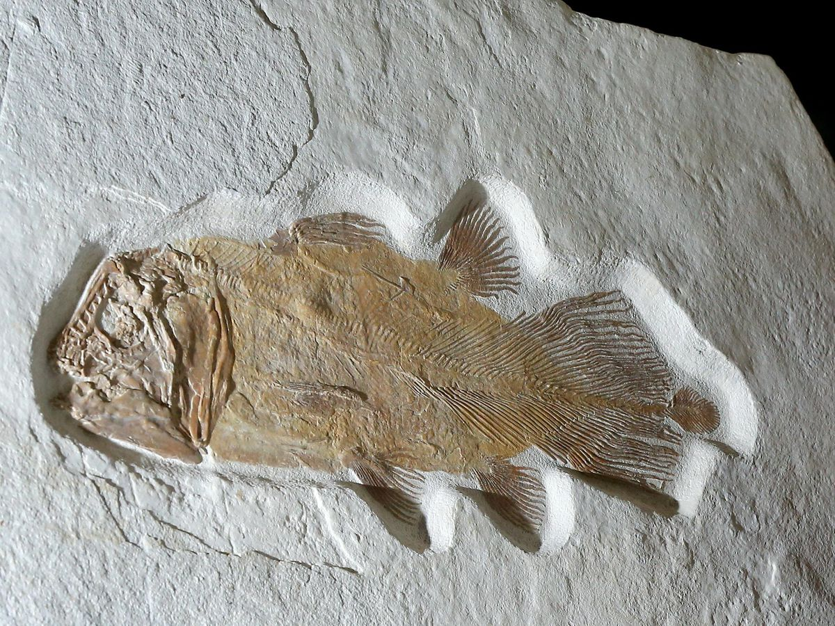 The rare coelacanth fossil