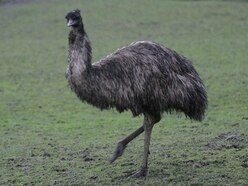 Man arrested after online video shows emus being killed by a car
