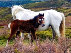 Telford photographer captures stunning images of Long Mynd wild horses