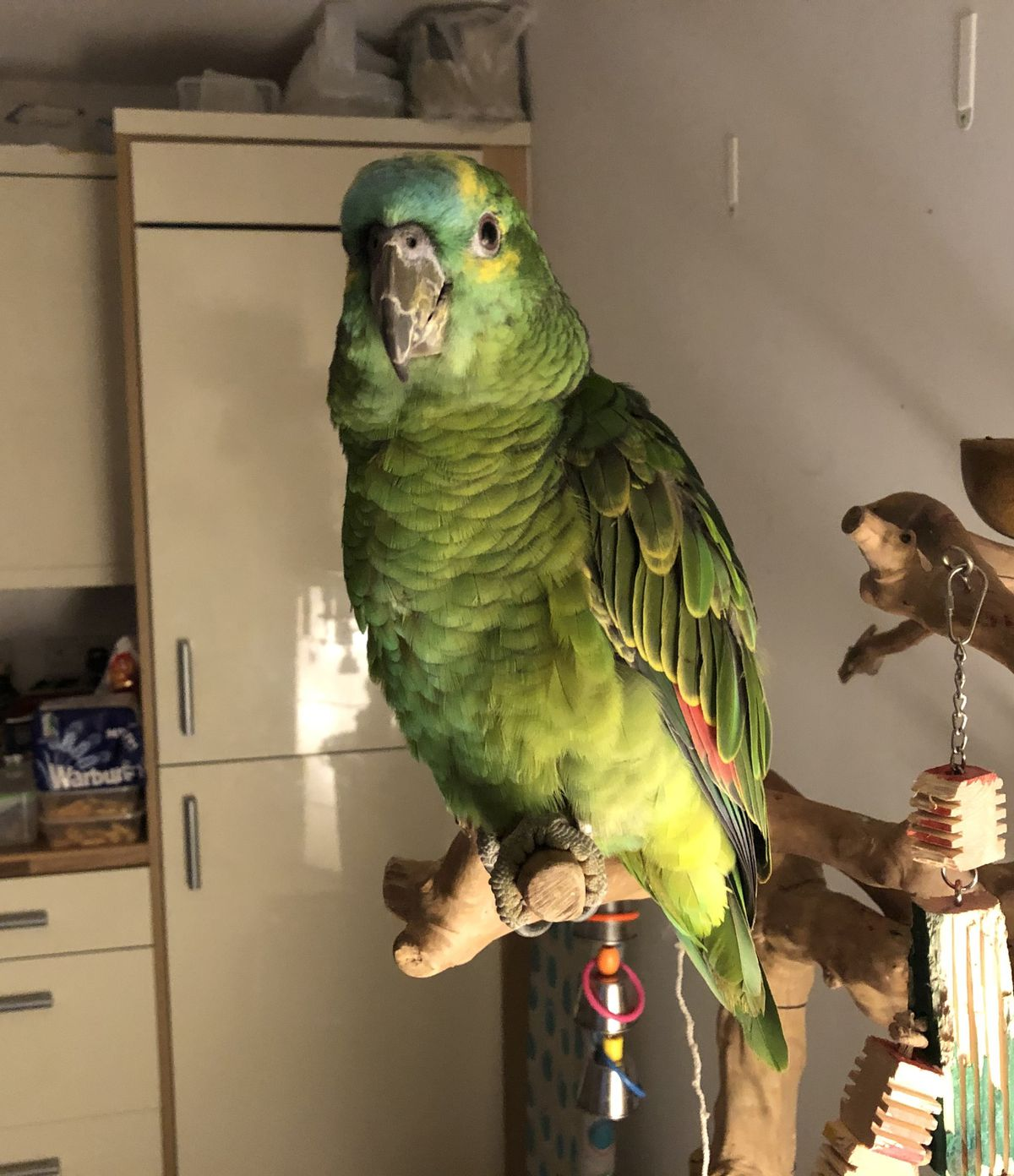 Lola the parrot