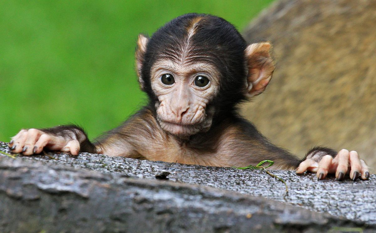Trentham includes the Monkey Forest tourist attraction
