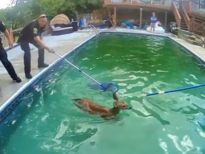 Deer trapped in pool is rescued