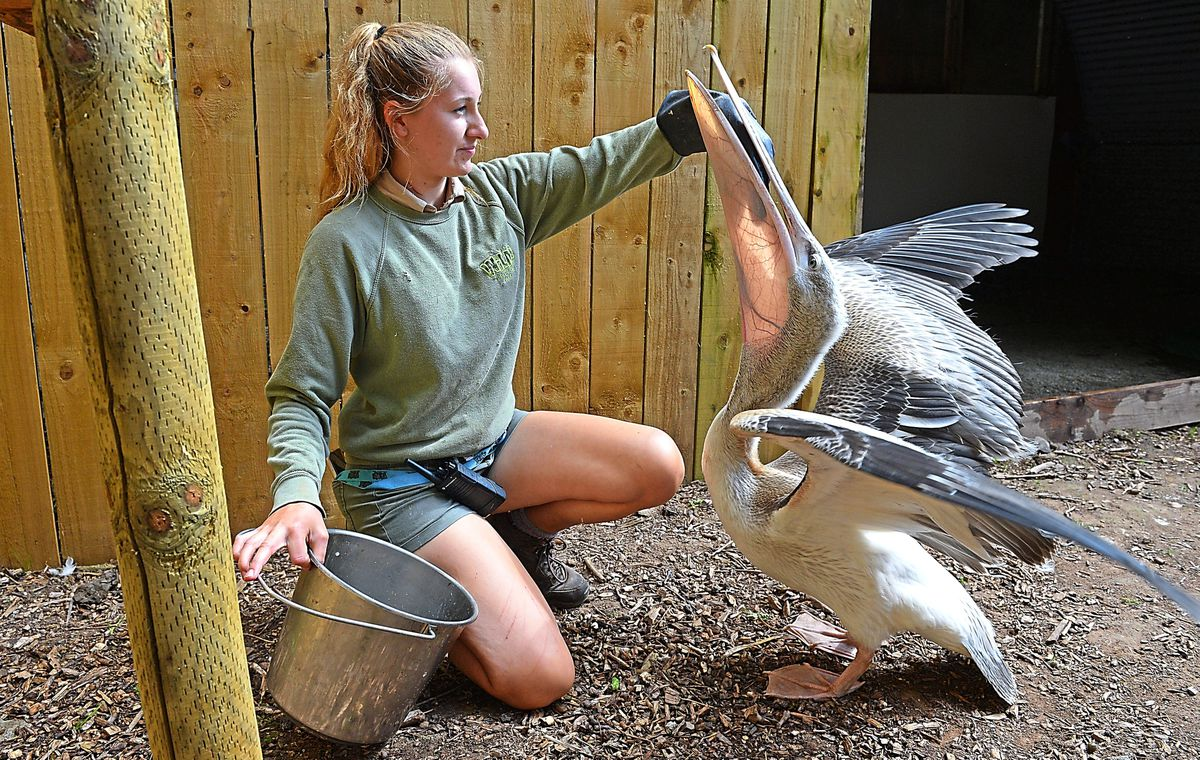 Pascal the baby pelican