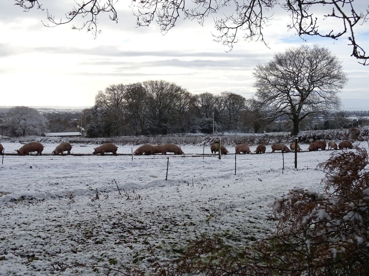 'I think these pigs near Market Drayton may need to be wrapped in blankets tonight,' says Dave James