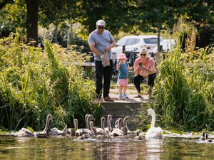 LAST COPYRIGHT SHROPSHIRE STAR JAMIE RICKETTS 20/07/2021 - Summer Weather - Newport Canal, Shropshire. In Picture: I believe grandparents help their granddaughter feed a team of cygnets.