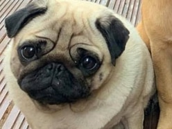 £5,000 reward for safe return of pregnant pug stolen from Telford garden