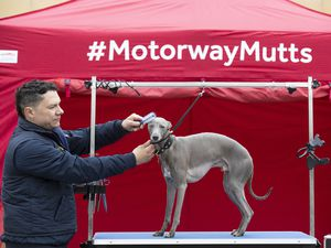 That pampered feeling – Roadchef off the M6 Toll in Norton Canes has been praised by users and finds itself towards the top of the services' league table. Here Lloyd, an Italian Greyhound/Whippet cross, enjoys some VIP treatment ahead of last year's Crufts.