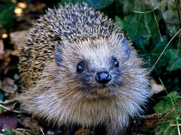 Hedgehogs do not sunbathe, Ludlow charity warns