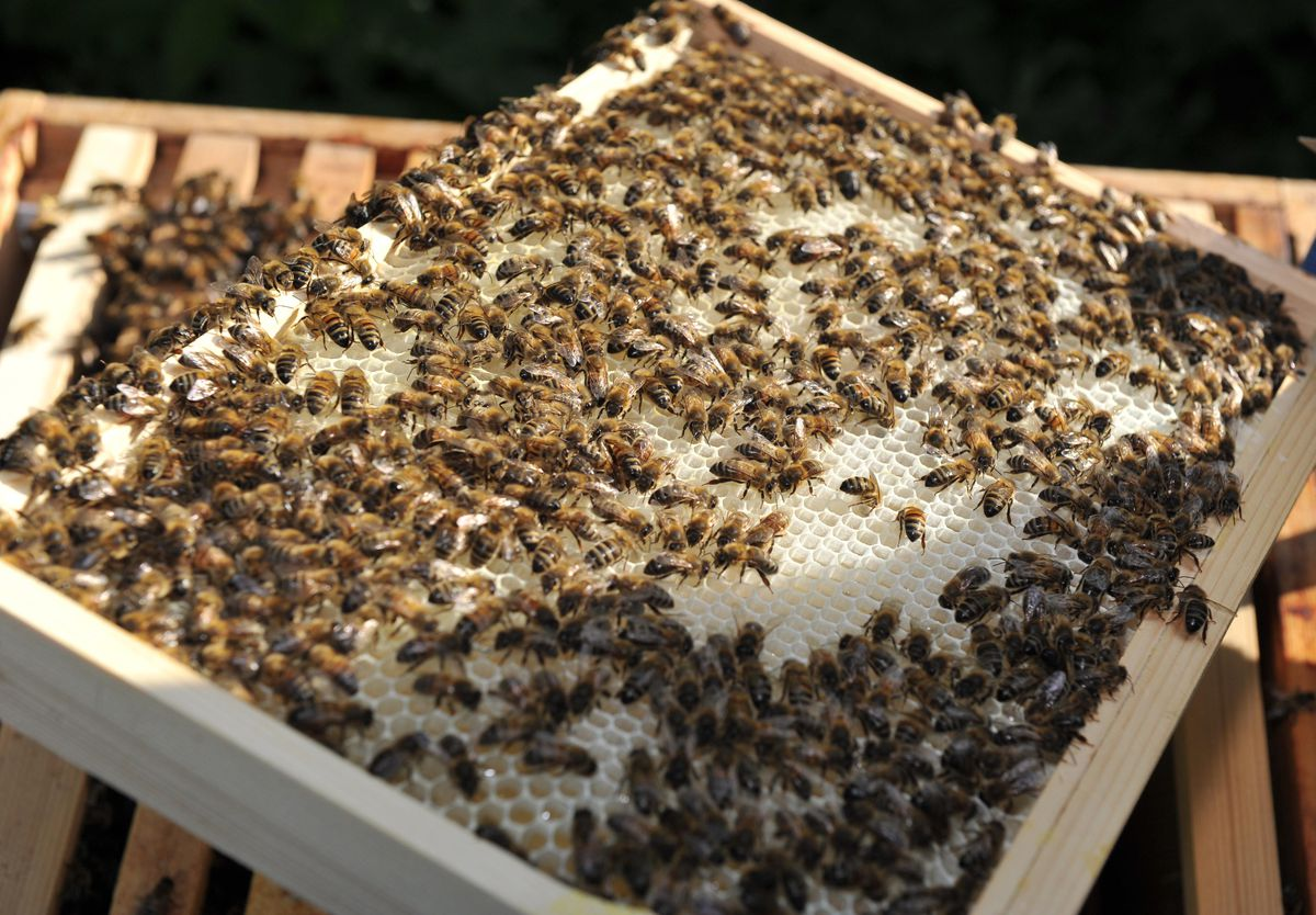 Each hive is home to around 50,000 bees