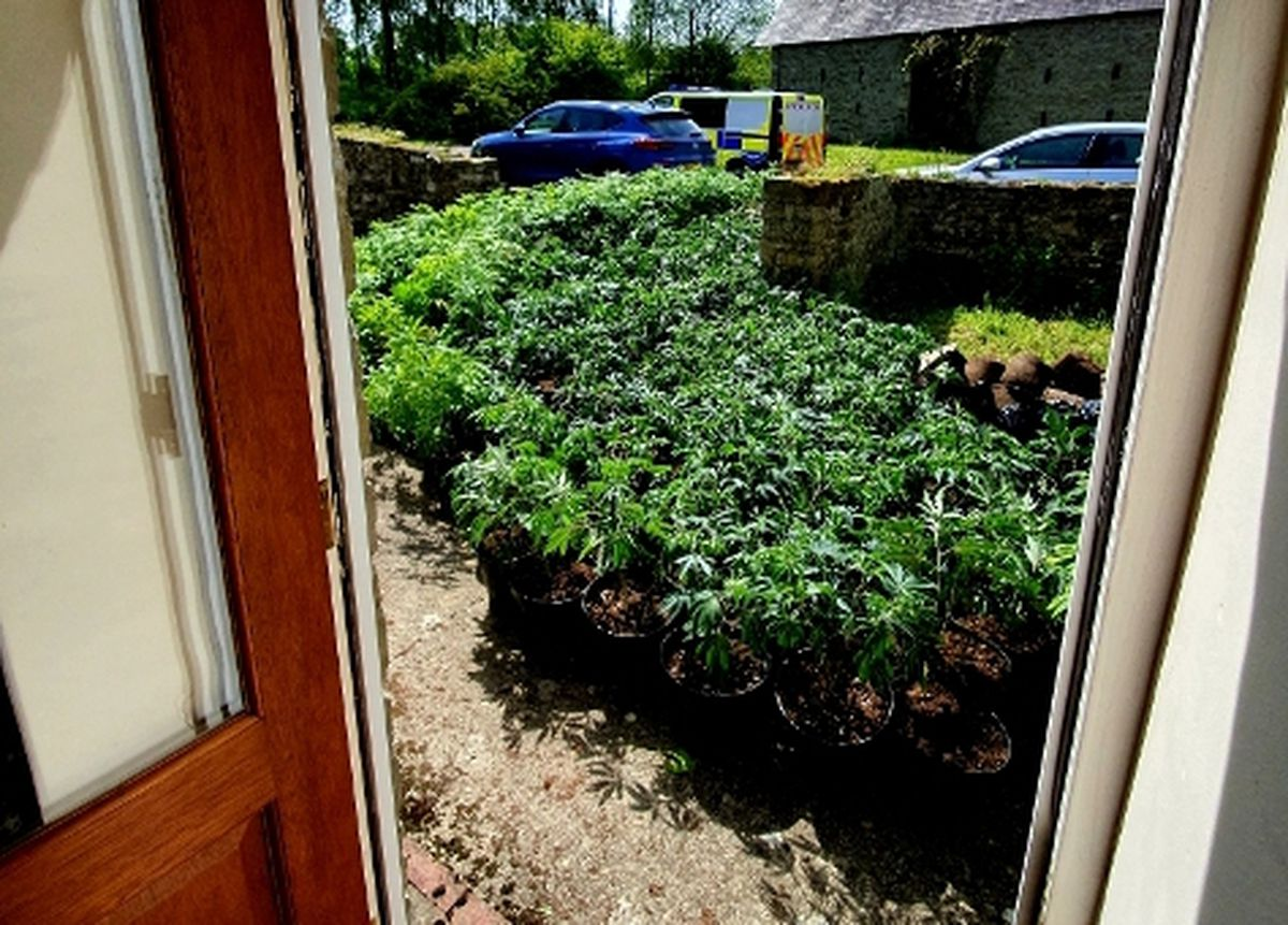 More than 500 plants of cannabis were found