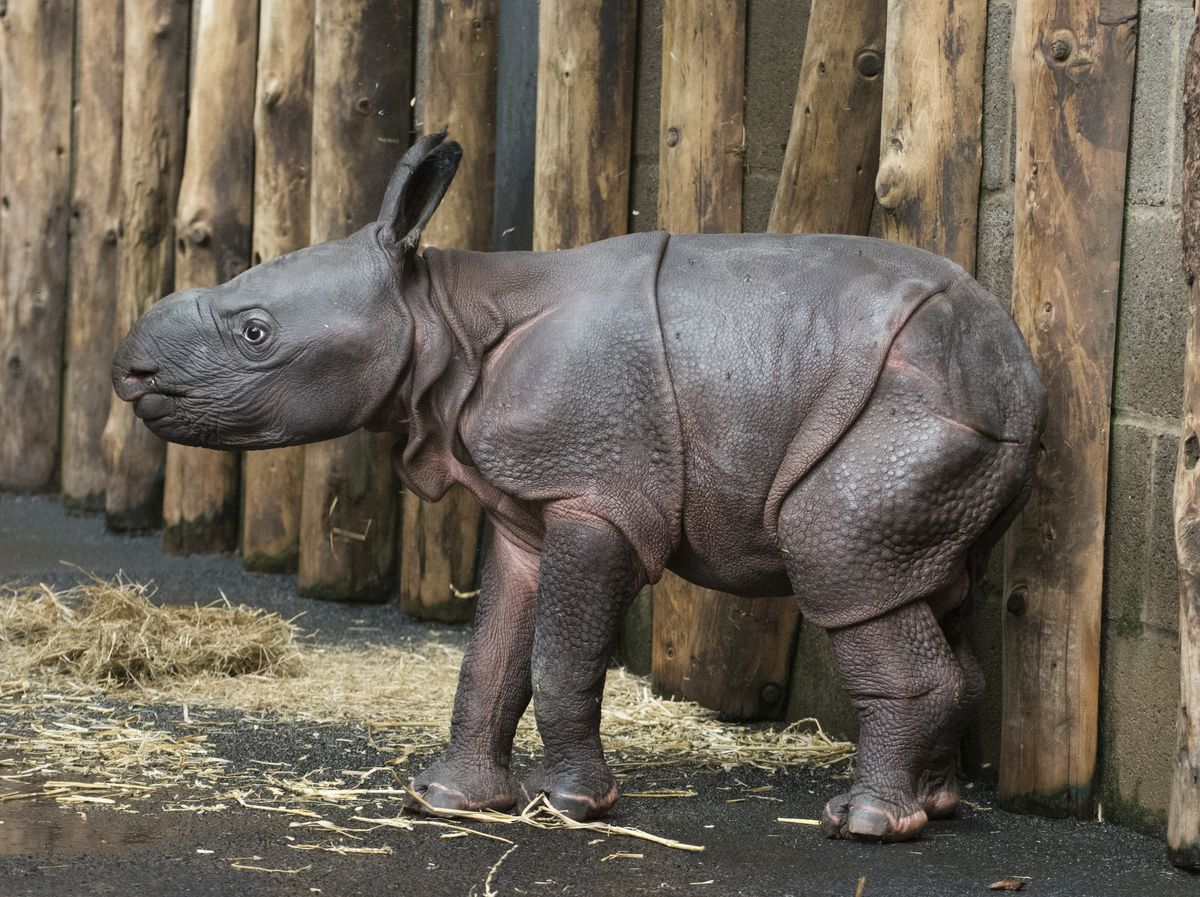 The baby Indian rhino was born at West Midland Safari Park earlier this week