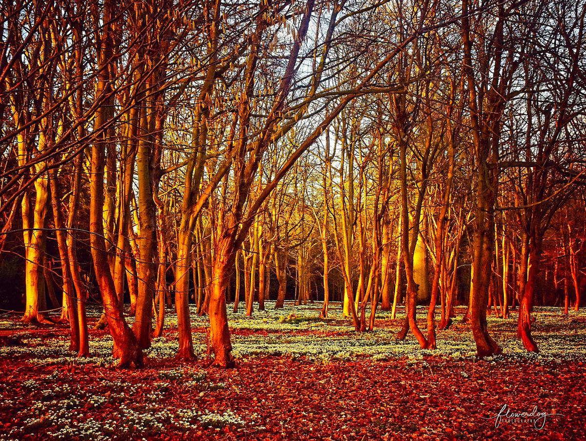 Snowdrops in Attingham Park woods as captured by Sabina Hopkinson of @Flowrrdogphotography