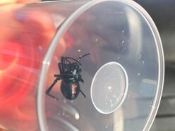 Call the spider man! Black widow caught on Telford industrial estate rehomed at Exotic Zoo