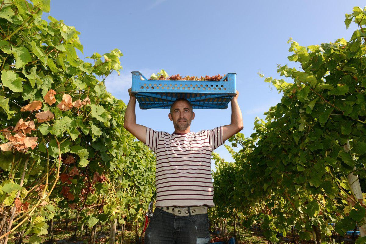 Halfpenny Green Vineyard Staffordshire Uk Grape Harvest. Dan Smith collecting the grapes