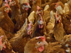 Oswestry chicken farm expansion set for refusal