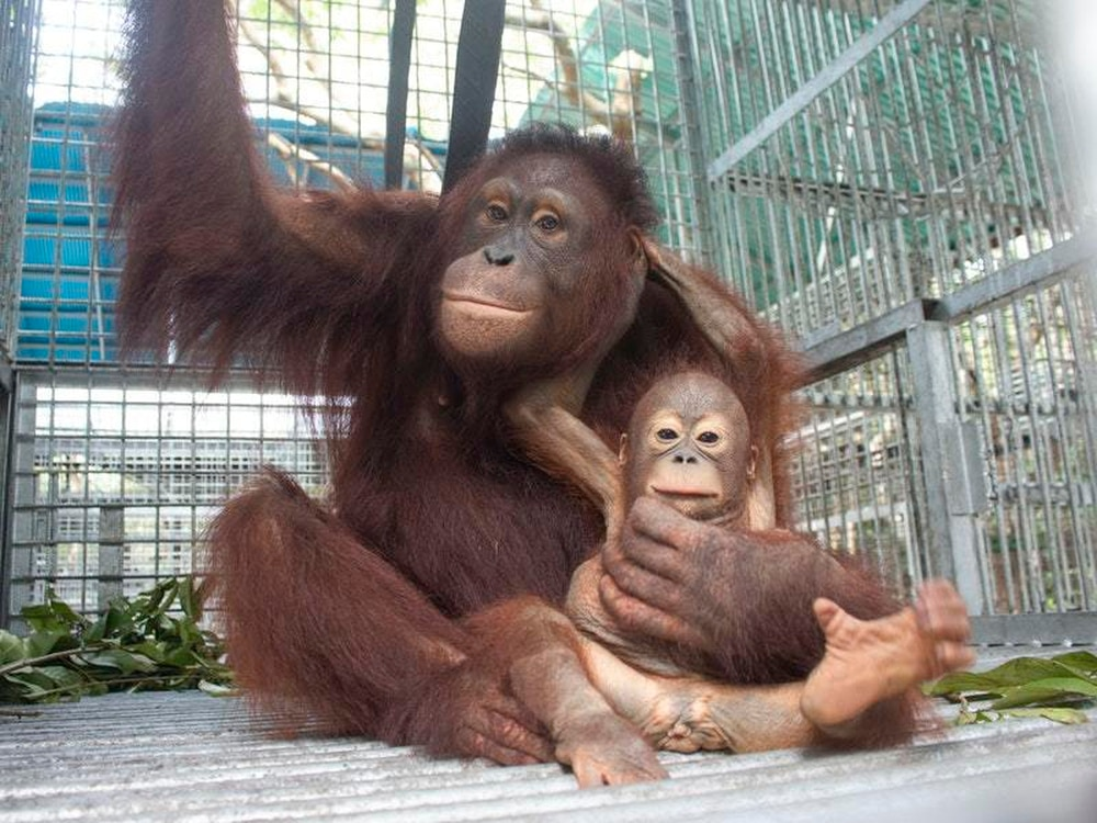 Image result for Baby orangutan