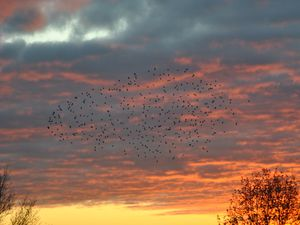 A murmation of starlings against a Shropshire sunset. Photo: Don Bannister