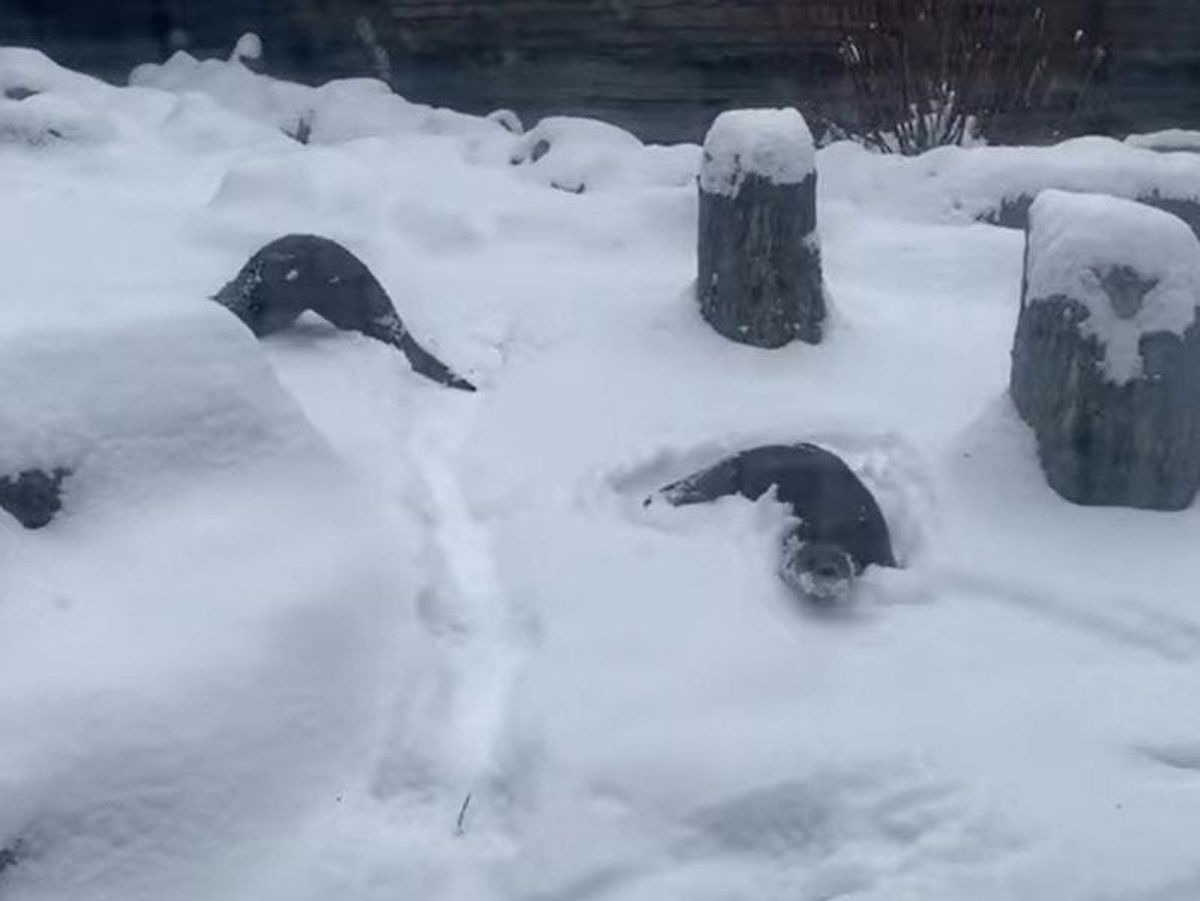 Otters playing in the snow