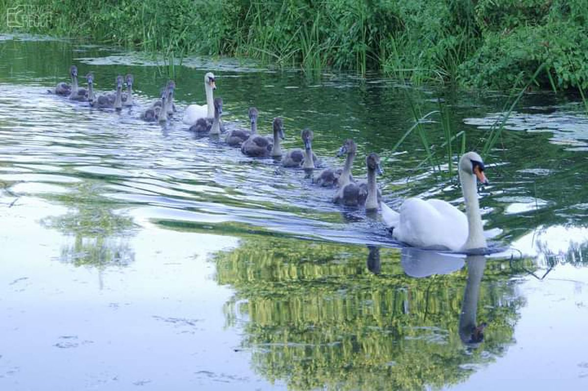 The huge family of swan moving in convoy. Photo: Trevor Reoch