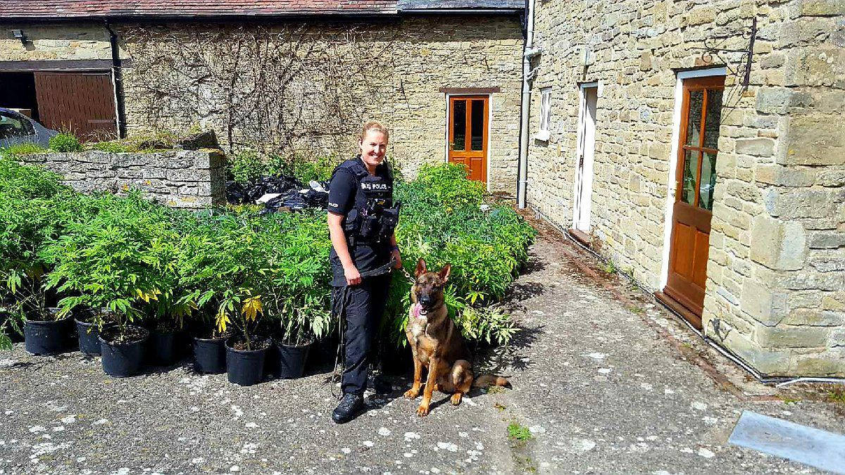 A police officer and a dog with the haul of cannabis plants