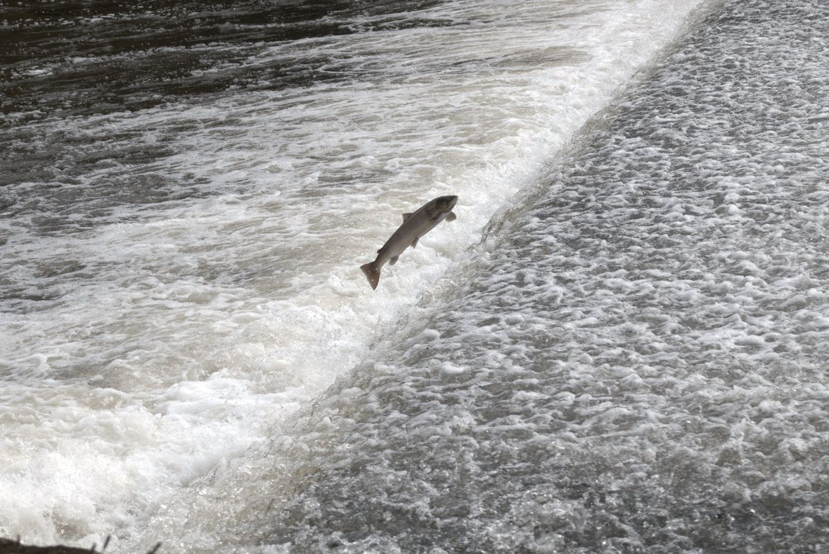 A salmon leaping over Shrewsbury's weir on the River Severn. Picture by Brian Brookes.