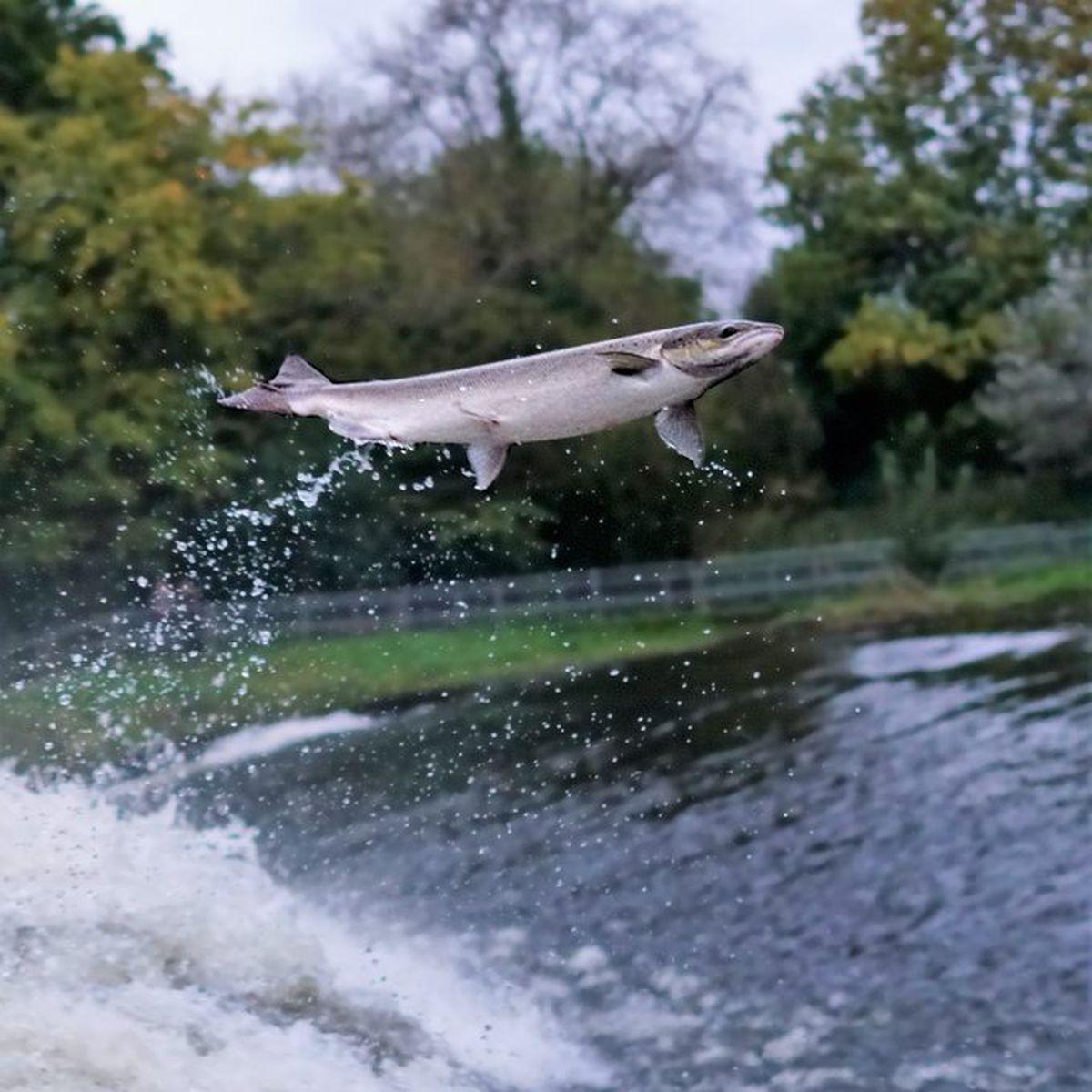 Robin Bennett captured this photo of the Salmon in Shrewsbury