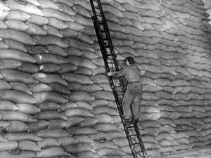 nostalgia pic. Allscott. A workman up a ladder at the sugar beet factory at Allscott on November 24, 1953, faced with a wall of sacks. This is a print in the Express and Star picture library (in the basement at Queen Street, and copied in situ on May 5, 2021). The caption pasted on the back reads: 'Part of the gigantic sugar store.' The picture was taken at the Allscott sugar beet factory near Wellington. The print has a stamp filled in with details, i.e. 'District, Allscott; Date, 24 Nov 53; photographer, Lea (an Express and Star staff photographer, so it is E&S copyright).' It also has a datestamp of November 27, 1953, which will be the publication date. Agriculture. Farming. Library code: Allscott nostalgia 2021..