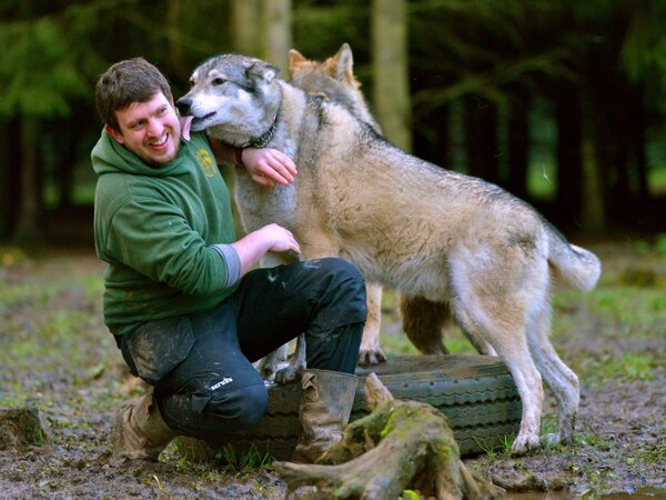 Wolves on display at Telford zoo attraction - with pictures and video