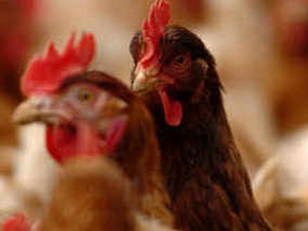 Plans lodged for 300,000-bird chicken farm between Shrewsbury and Telford