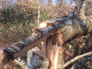 The vandalised oak tree