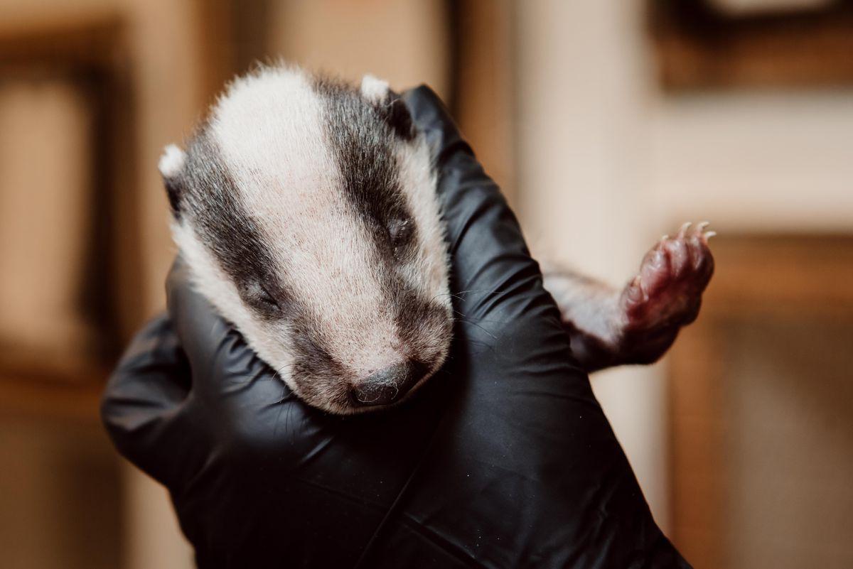 A badger cub at Cuan Wildlife Rescue