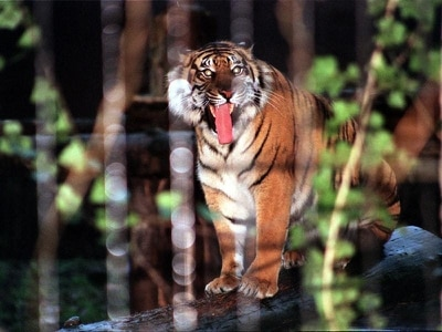 No virus spread threat from cats, experts say after tiger catches coronavirus