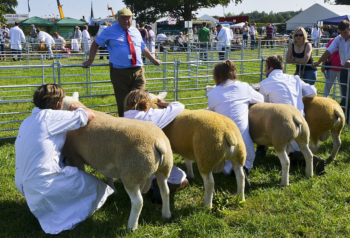Sheep judging at Minsterley Show – this is the 2015 event.