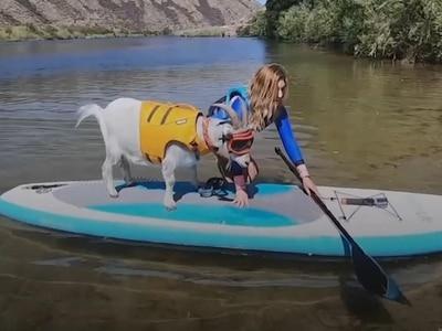 Goat named Mr Mayhem loves paddleboarding