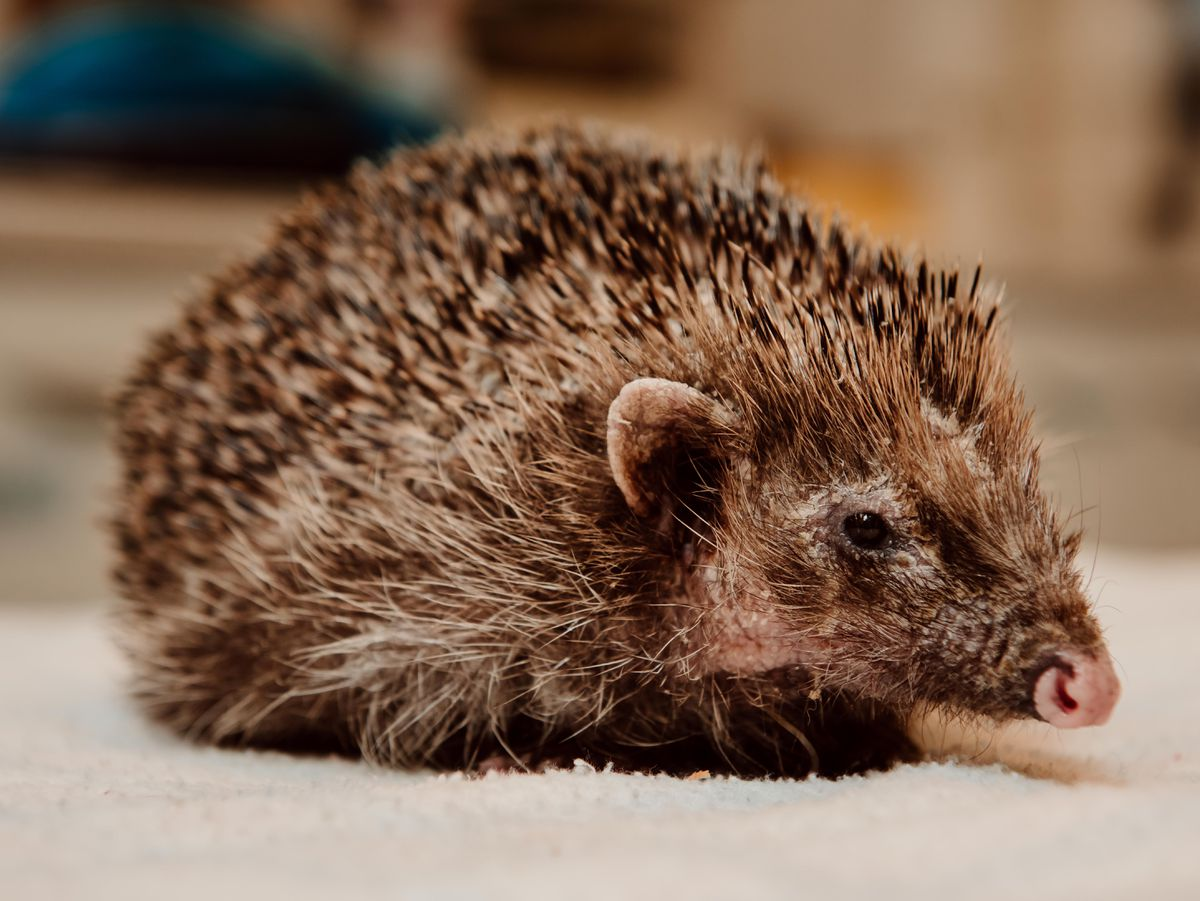 LAST COPYRIGHT SHROPSHIRE STAR JAMIE RICKETTS 07/03/2019 - Cuan Wildllife Rescue updates - In Picture: Bear the Hedgehog...