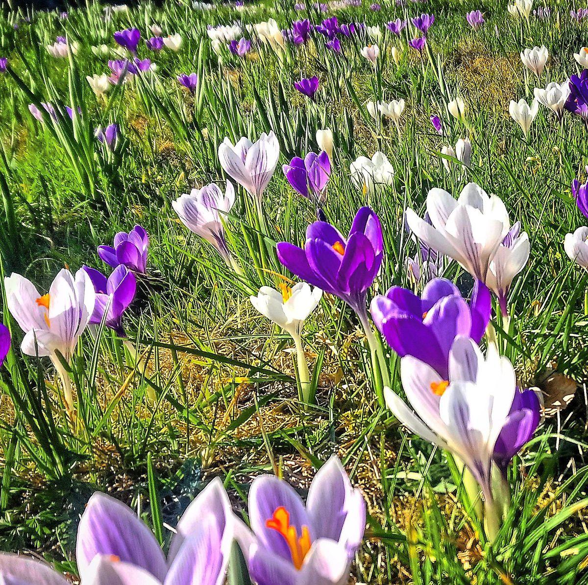 Spring flowers snapped at Clive Church, near Shrewsbury, by Scott Roberts/@shrews01