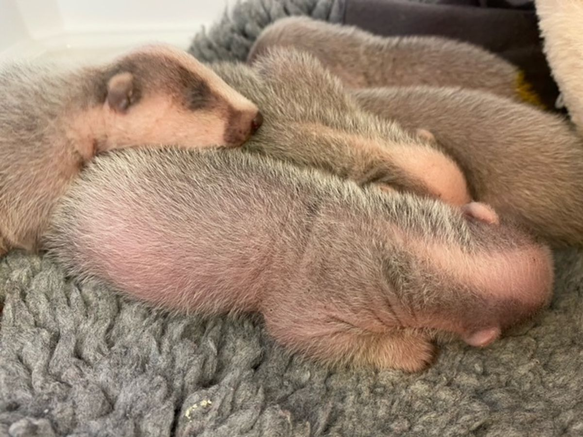 The five badgers are now being cared for by Cuan volunteer Hayley
