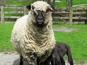 Sheep at Acton Scott