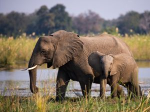 Undated Handout Photo of elephants in South Luangwa National Park, Zambia. See PA Feature TRAVEL Rangers. Picture credit should read: PA Photo/iStock. WARNING: This picture must only be used to accompany PA Feature TRAVEL Rangers.