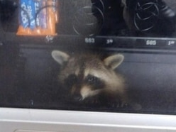 Raccoon freed after getting stuck in a high school's vending machine in Florida
