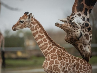 Watch as this two-week-old giraffe ventures outside for the first time