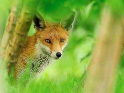 Peter Rhodes on climate Armageddon, a hot day in Paris and the fox who thought he'd found sausages