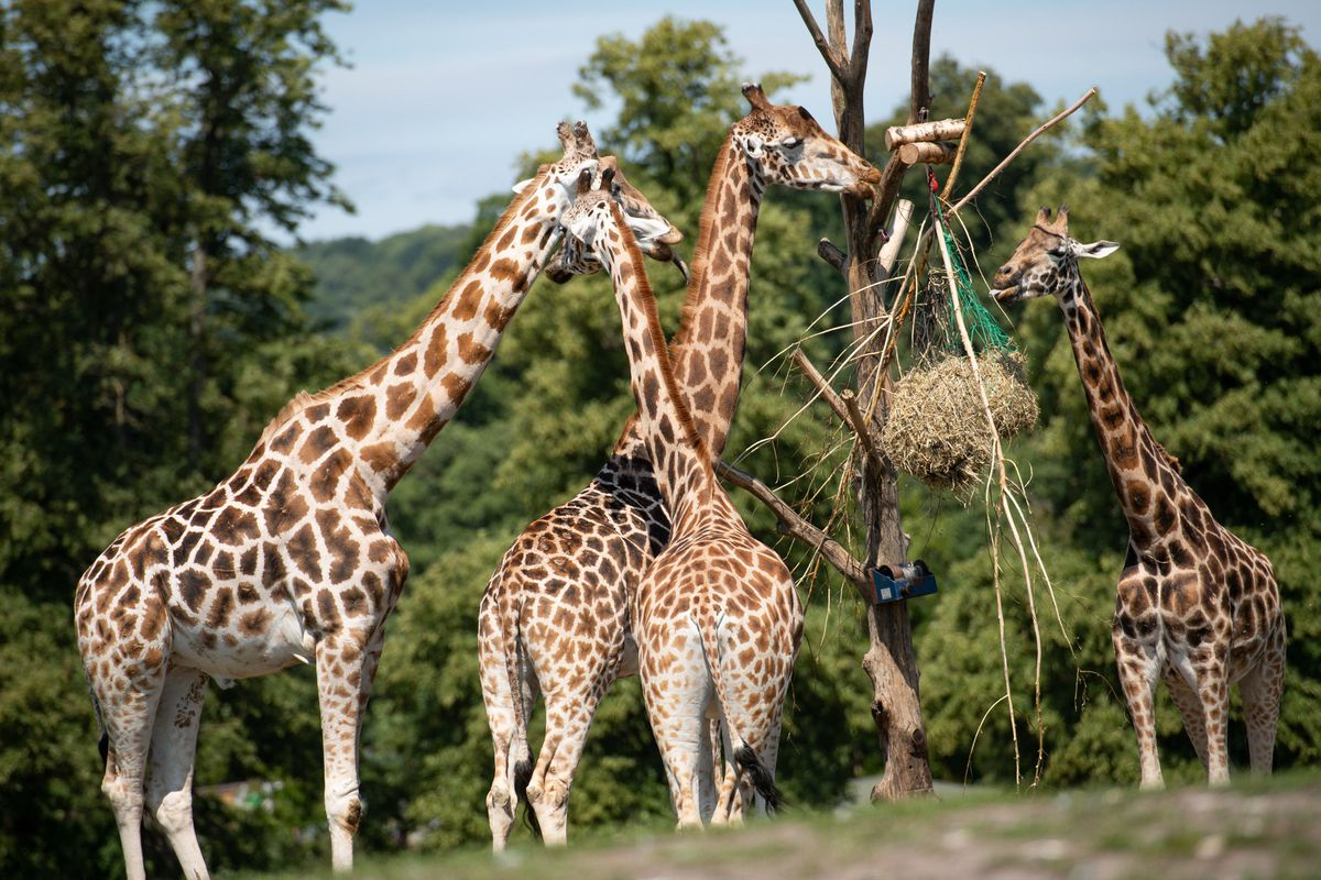 Visitors observe giraffes at West Midland Safari Park in Bewdley, as Britain is braced for a June heatwave as temperatures are set to climb into the mid-30s this week