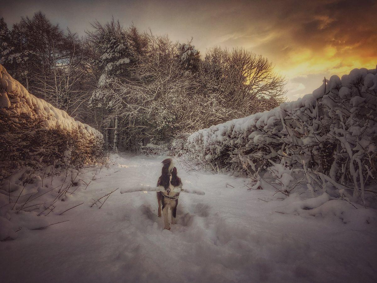 Border collie having fun in the snow. Photo:  @gk_stephen