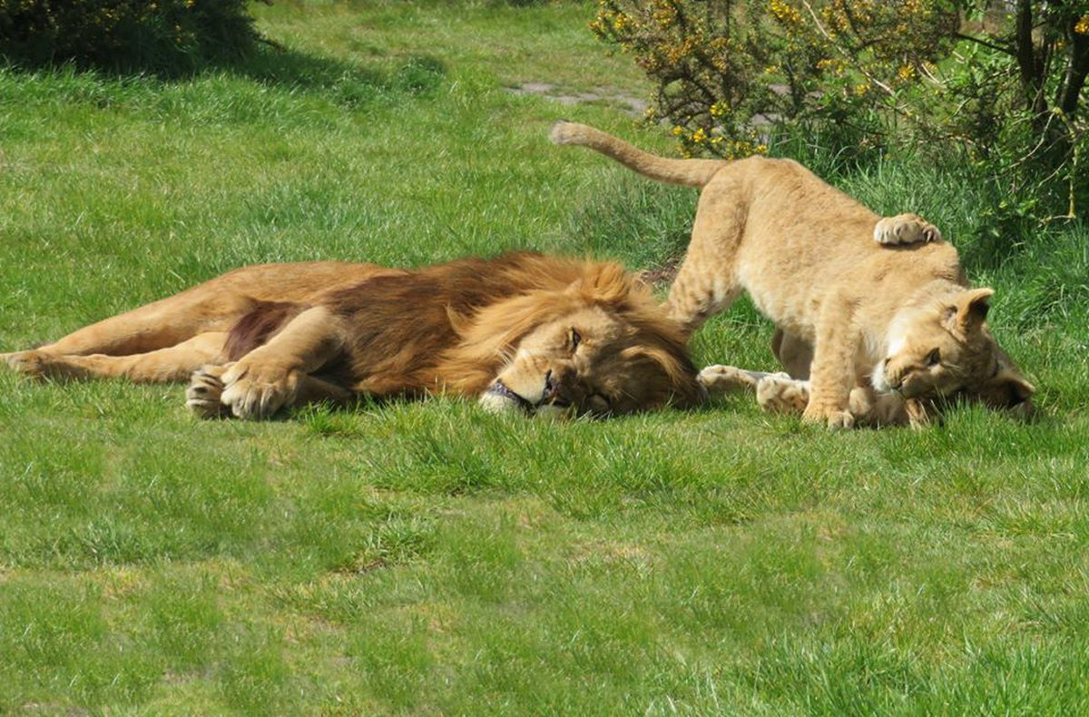 West Midland Safari Park have shared new pictures of the lion cubs