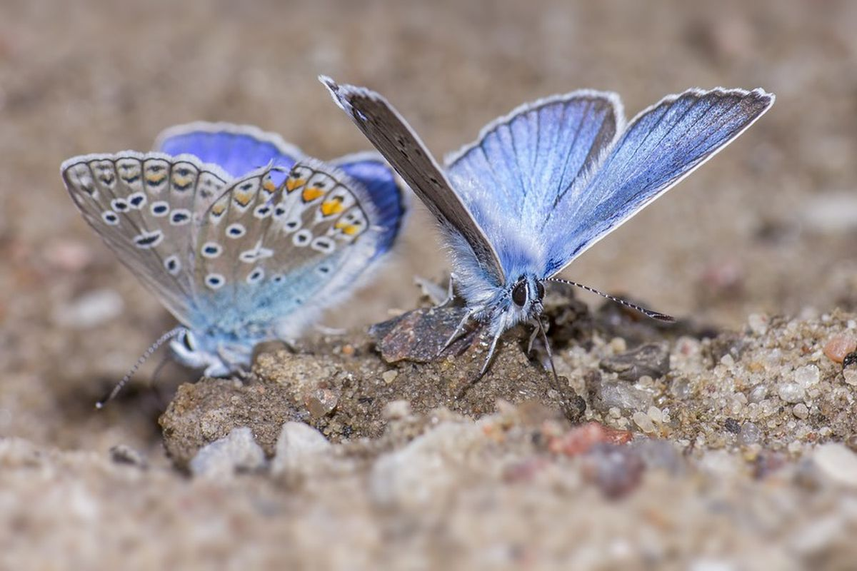 The silver-studded blue butterfly