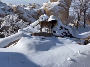 A lion plays in the snow at Denver Zoo