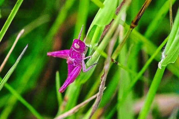 Ahh Grasshopper Shropshire Wildlife Spotters In The Pink After A