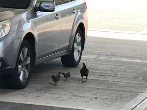 M25 chicken