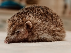 Bear the hedgehog who lost his spikes is put to sleep